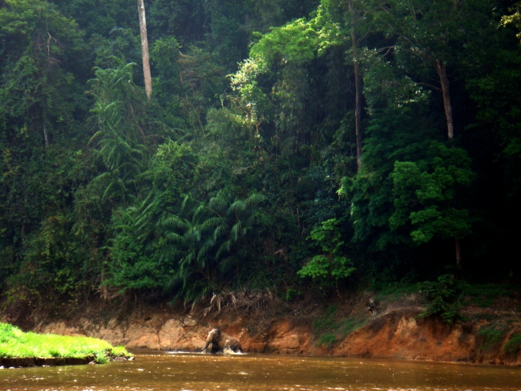 wild elephant swimming