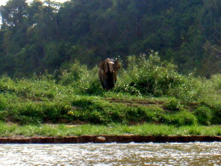 Wild male elephant