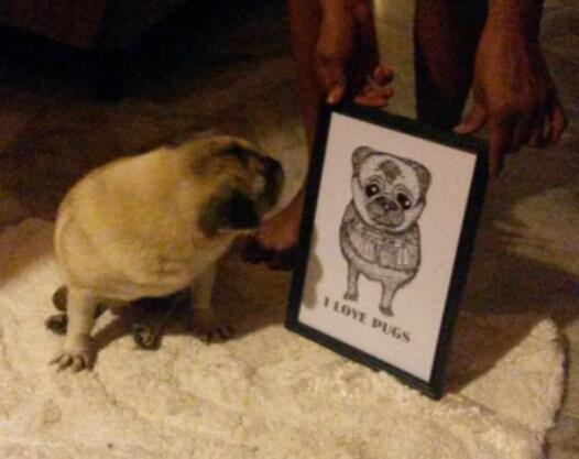 Wrinkles the Pug seeing her sketch I did for the first time