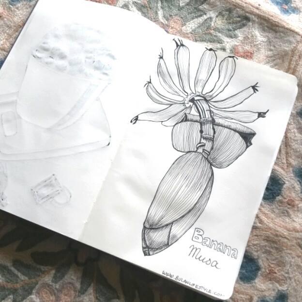 banana musa drawing