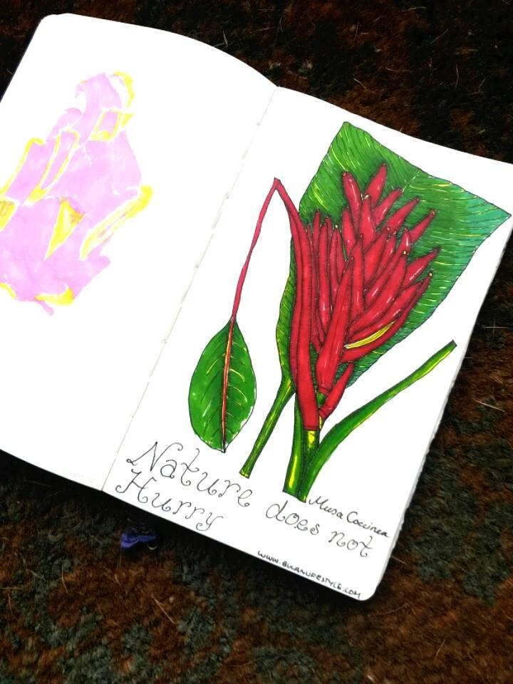 Botanical illustration. Musa Coccinea