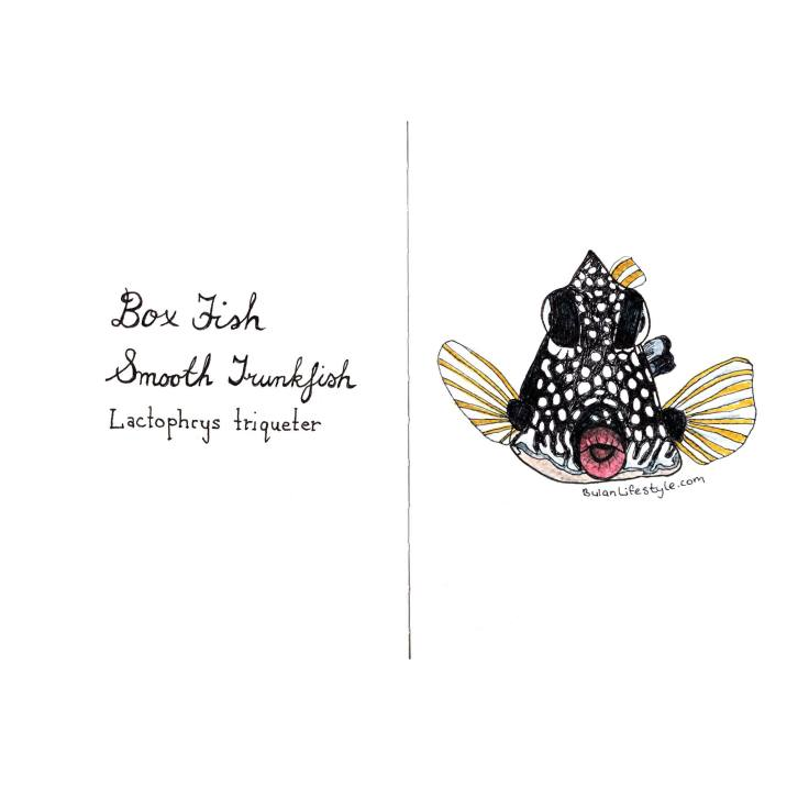 Smooth Trunkfish Boxfish Lactophrys triqueter