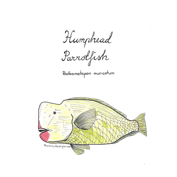 Humphead parrotfish drawing
