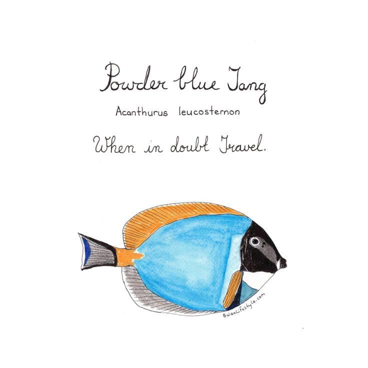 Powder blue tang. Acanthurus Leucosternon