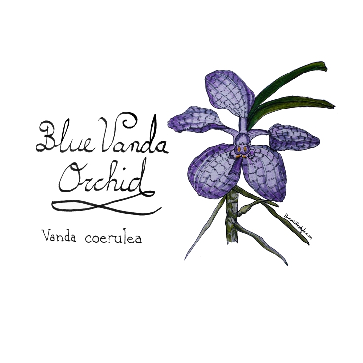 Blue Vanda Orchid drawing